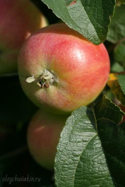 Яблоко крупным планом