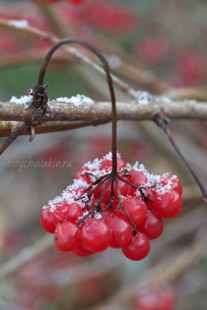 Первый снег, калина, фото, холодный октябрь
