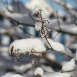 Снег на ветках, сирень, 31 октября 2015, фото