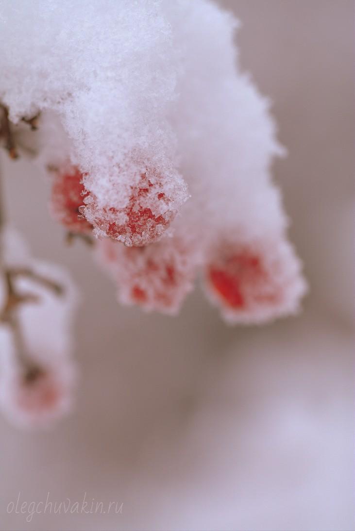 Калина в снегу, фото, макро, 2015