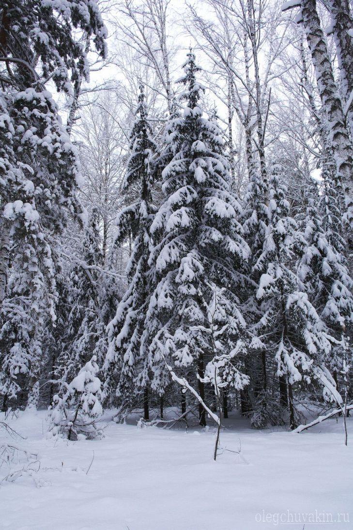 Январь, зимнее фото, елки, Олег Чувакин