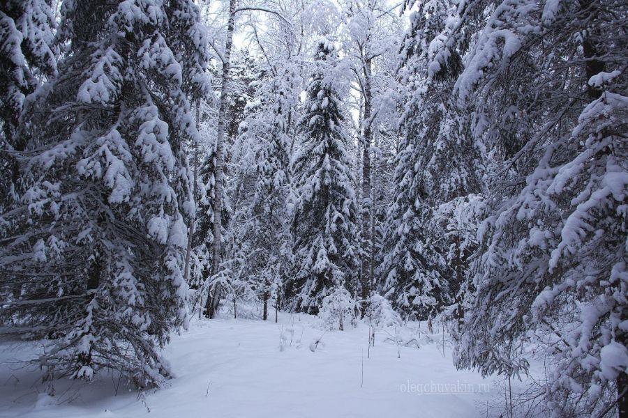 Зимний лес, зимнее фото, ели, январь 2016