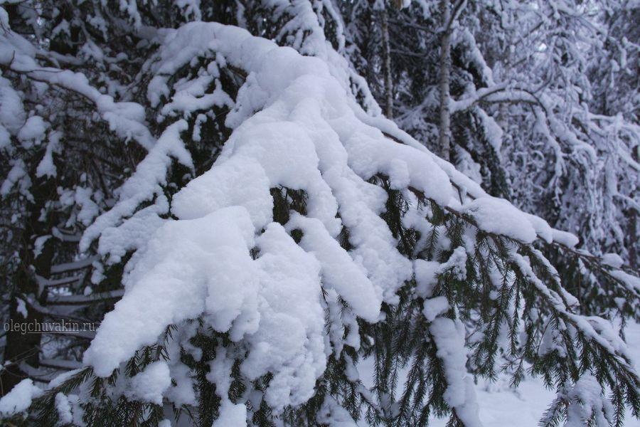 Январь, зима, лес, ель, снег, фото, 2016