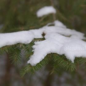 Снежок, снег, ёлки, иголки, хвоя елей, фото, макро, Олег Чувакин