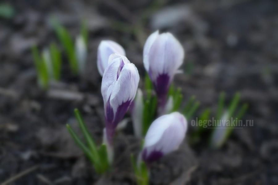 Крокусы, апрель, красивое фото, макро