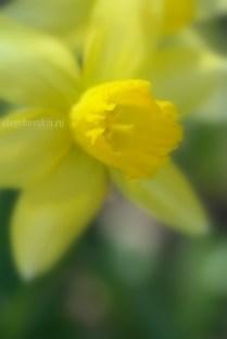 """Нарцисс, фото, крупный план, галерея """"Жёлтое и красное"""""""