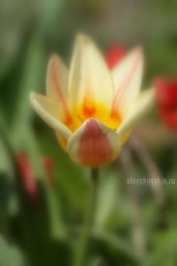 Лилиевидный тюльпан, фото, макро