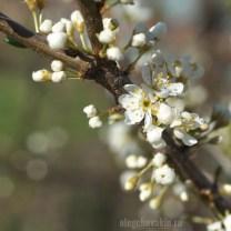 Цветущая слива, май, сад, фото
