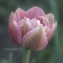Тюльпаны, фото, крупный план