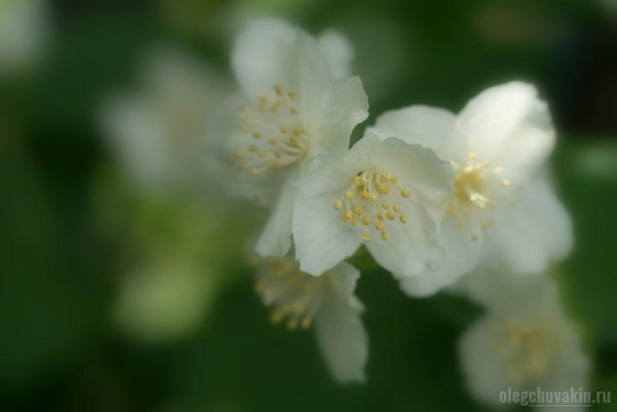 Чубушник, садовый жасмин, фото, макро