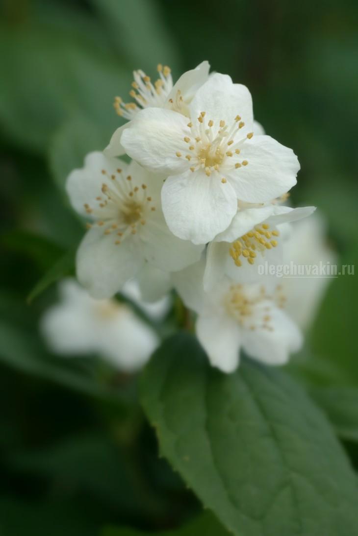 Чубушник, цветёт, фото, макро