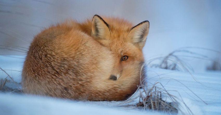Лиса, снег, Сибирь, фото, иллюстрация