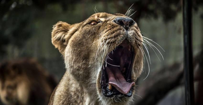 Лев, львица, самка, рёв, весна, фото, иллюстрация