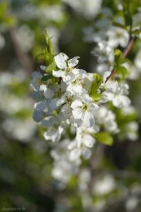 Фото цветущей сливы, снимок цветков сливы