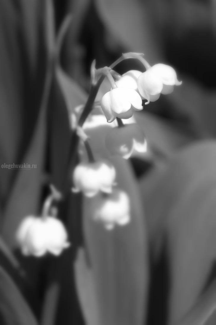 Ландыши, фото, ландыш, цветки, листья