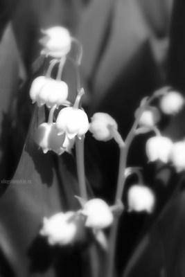 Фото цветущих ландышей