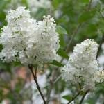 Ветка, белая сирень, цветёт, фото