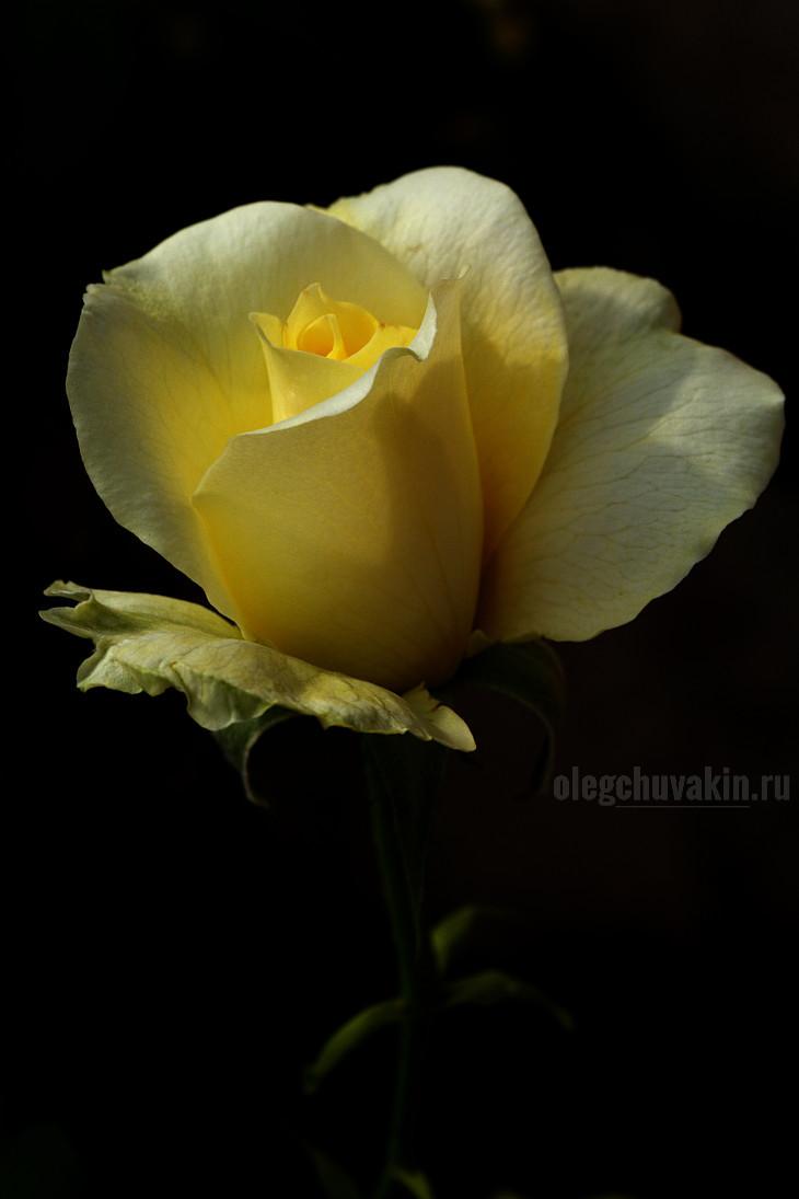 Роза, жёлтая, чёрный фон, тёмный фон, фото