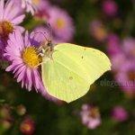 Бабочка, лимонница, фото