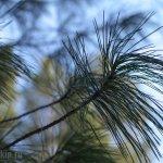 Pinus sibirica, кедр сибирский