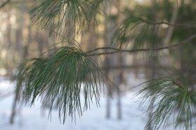 Мягкая хвоя кедра, лесное фото, Олег Чувакин