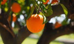 Апельсиновые деревья, роща, апельсины, фото