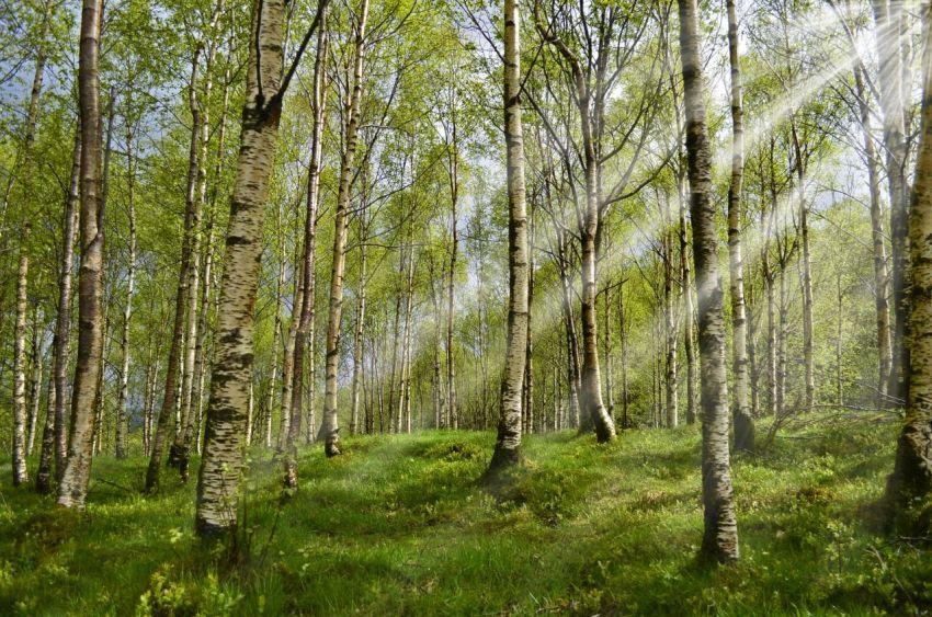 Россия, берёзы, лес, роща, утро, весна, зелень, солнечные лучи