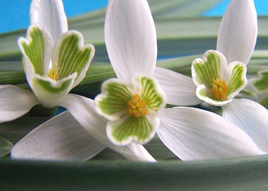 poze-cu-flori-de-primavara-imagini-cu-ghiocei-galanthus-nivalis-04