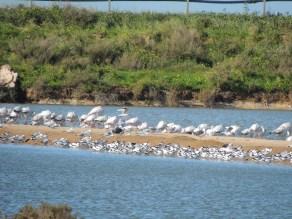Avocets, Flamingos and Gulls