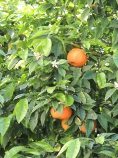 Oranges and blossom