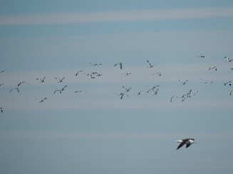 Orchestra plus one gull