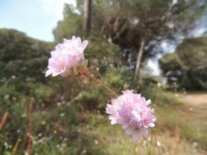 Allium roseum with footpath behind