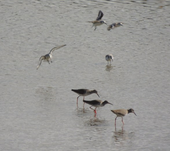 All three in foreground are Redshanks!