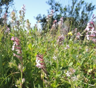 another-silene-maybe-small-flowered-catchfly