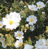narrow-leaved-rock-rose