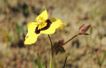 spotted-rock-rose