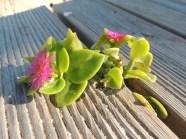 aptenia-cordifolia