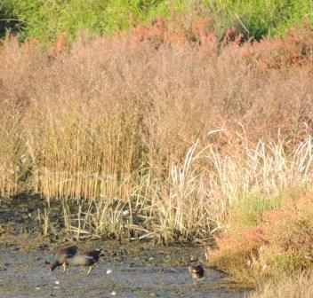 Moorhens, another wary bird