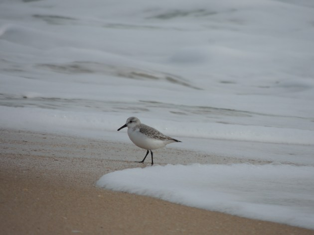 Sanderling playing with the waves