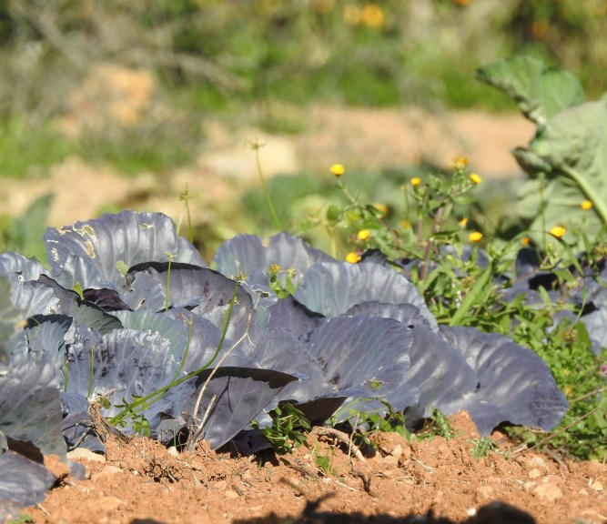Cabbages in the sun
