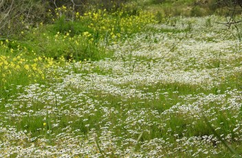 Daisies and Bermuda Buttercups