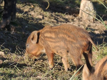 This little piggy had Roast Beef