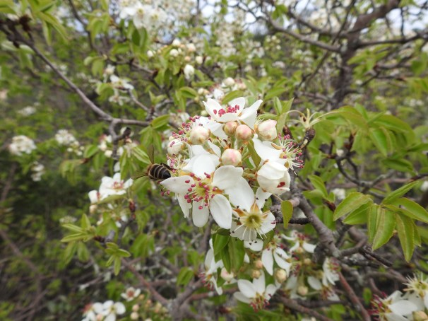 Wild Pear possibly