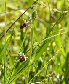 Ophrys scolopax - I think!