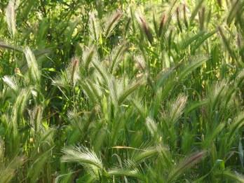 Stipa capensis or Wall Barley