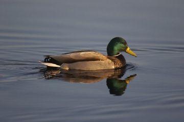 Los patos no se mojan las plumas por una grasa que crean