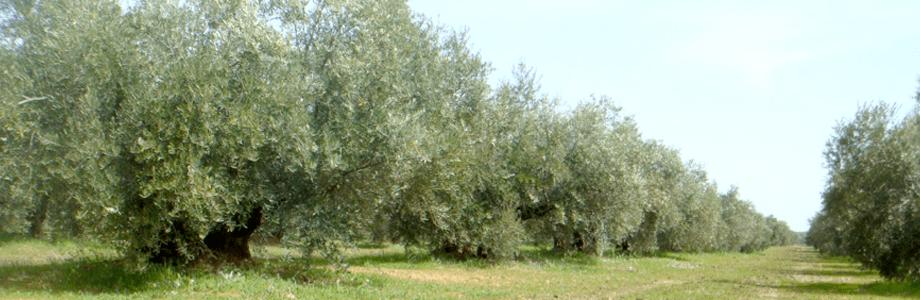 olivar10
