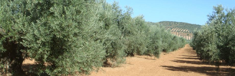 olivar9
