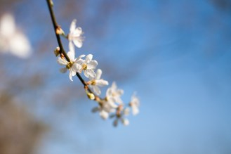 The pretty blossom of various varieties of prunus are coming out everywhere now.