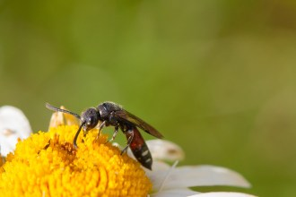 Penultimate garden minibeast hunt for #30DaysWild day 29. Spotted this solitary wasp. This is a female of species Sapyga quinquepunctata. A cleptoparasitic solitary wasp that lays her eggs in the nests of Osmia bees.